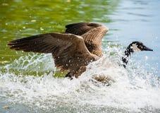 Aterrizaje del ganso de Canadá en la charca en chapoteo grande Foto de archivo