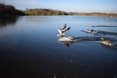 Aterrizaje del ganso de ganso silvestre en el lago Fotografía de archivo libre de regalías