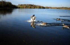 Aterrizaje del ganso de ganso silvestre en el lago Imagen de archivo libre de regalías