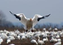 Aterrizaje del ganso de nieve Imagen de archivo libre de regalías