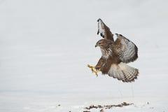 Aterrizaje del halcón Imagen de archivo libre de regalías