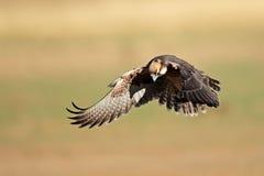 Aterrizaje del halcón de Lanner Fotografía de archivo