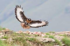 Aterrizaje del halcón del chacal en la montaña rocosa en fuerte viento Fotografía de archivo
