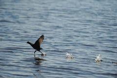 Aterrizaje del pájaro de la fúlica en el agua en el océano Imágenes de archivo libres de regalías