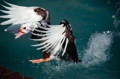 Aterrizaje del pato Imágenes de archivo libres de regalías