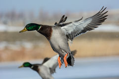 Aterrizaje del pato del pato silvestre (platyrhynchos de las anecdotarios) Imagen de archivo
