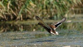Aterrizaje del pato salvaje en el lago fotos de archivo