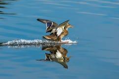 Aterrizaje del pato silvestre en el agua Foto de archivo