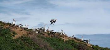 Aterrizaje del pelícano Fotos de archivo libres de regalías