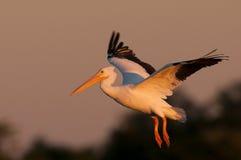Aterrizaje del pelícano blanco Foto de archivo libre de regalías