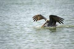 Aterrizaje del pelícano en el agua Foto de archivo