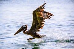 Aterrizaje del pelícano en el agua Fotos de archivo