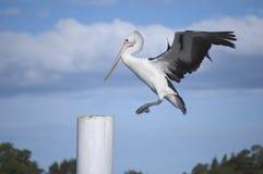 Aterrizaje del pelícano en un poste del embarcadero Foto de archivo libre de regalías