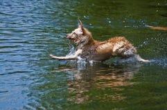 Aterrizaje del perro en agua Fotografía de archivo