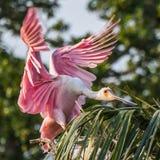 Aterrizaje del Spoonbill rosado en una palmera foto de archivo