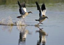 Aterrizaje egipcio de los gansos (aegyptiacus de Alopochen) Foto de archivo libre de regalías
