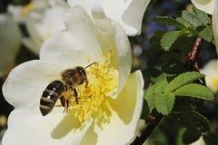 Aterrizaje europeo de Mellifera de los Apis de la abeja de la miel en la flor blanca del perro Rosa Canina color de rosa Foto de archivo libre de regalías