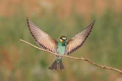 Aterrizaje europeo del abeja-comedor en una rama Foto de archivo libre de regalías