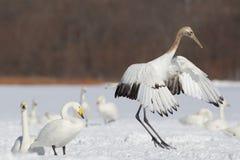 Aterrizaje japonés de la grúa en nieve Fotos de archivo libres de regalías