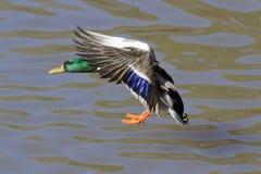 Aterrizaje masculino del pato silvestre (platyrhynchos de las anecdotarios). Foto de archivo libre de regalías
