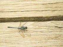 Aterrizaje verde de la libélula en un tablero de madera beige, New Jersey, los E.E.U.U. Fotos de archivo libres de regalías