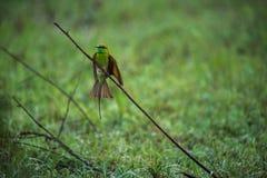Aterrizaje verde del comedor de abeja Fotos de archivo libres de regalías