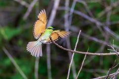 Aterrizaje verde del comedor de abeja en una ramita Fotografía de archivo