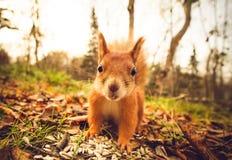 Atesore el bosque divertido del otoño de los animales domésticos de la piel roja en fondo Foto de archivo