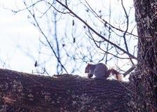 Atesore intentar abrir una nuez en una rama en Hopewell, Pennsylvania foto de archivo libre de regalías