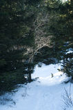 Ath in snowy mountain pine forest Stock Photo