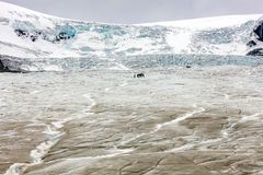 Athabasca Glacier with guided expedition Royalty Free Stock Images