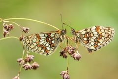 Athalia raro impressionante dois Heath Fritillary Butterfly Melitaea que empoleira-se em semear a grama, enfrentando-se em uma fl fotos de stock