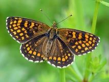 Athalia van Melitaea van de vlinder. Stock Afbeelding