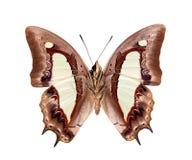 Athamas di Polyura della farfalla Fotografie Stock