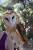 Athena the Owl. Is recovering from being shot in the wing. Soon, she will be released back into the California wilderness. Her carer feeds her a 2 dead mice stock image