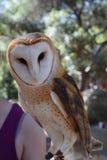 Athena the Owl Stock Image