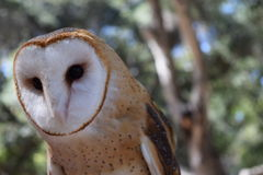 Athena the Owl with Room for Text. Athena the Owl is photographed using portrait mode so that the background is blurred for editorial text royalty free stock photo