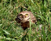 Athene cunicularia on the grass Stock Photo