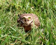 Athene cunicularia looking Stock Photo
