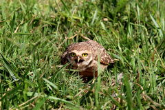 Athene cunicularia with open beak Royalty Free Stock Images