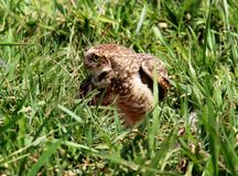 Athene cunicularia profile in grass Royalty Free Stock Image