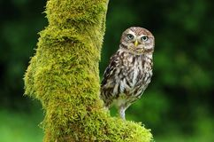 Athene noctua owl. Doomster owl Athene noctua in nature royalty free stock image