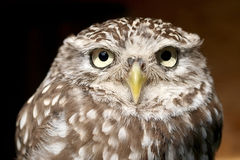 Athene noctua Stock Photography