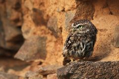 Athene noctua. The wild nature of the Czech Republic. Free nature. From Owl`s Life. Owl on the stone. Beautiful picture. Little owl royalty free stock photo