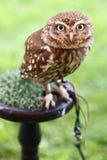 Athenenoctua för liten uggla Royaltyfri Fotografi