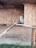 Athenenoctua - uggla - civetta i buren royaltyfria foton