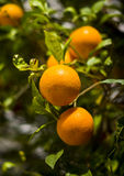 Athenian Oranges. An up close picture of oranges growing along the sidewalk in Athens, Greece royalty free stock photography