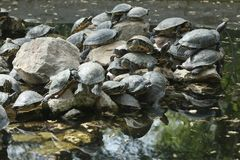 Athenian turtles love to be together royalty free stock images