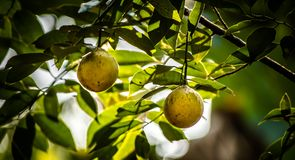 Nutmeg It is also called as Jathikka Stock Image