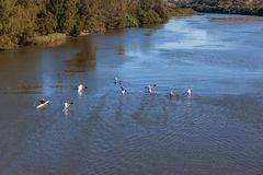 River Canoeing Paddlers Training. Athletes paddlers canoeing morning training practice up glassy river waters overhead photo of landscape stock image